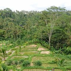 Rice terraces in Bali ... farmers have been altering the Earth's surface for thousands of years. Image: Andrea Kay.