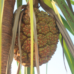 Fruit of the Anyakngarra, also known as pandanus. The soft base is made into a drink and their nuts are an excellent source of fat and protein.